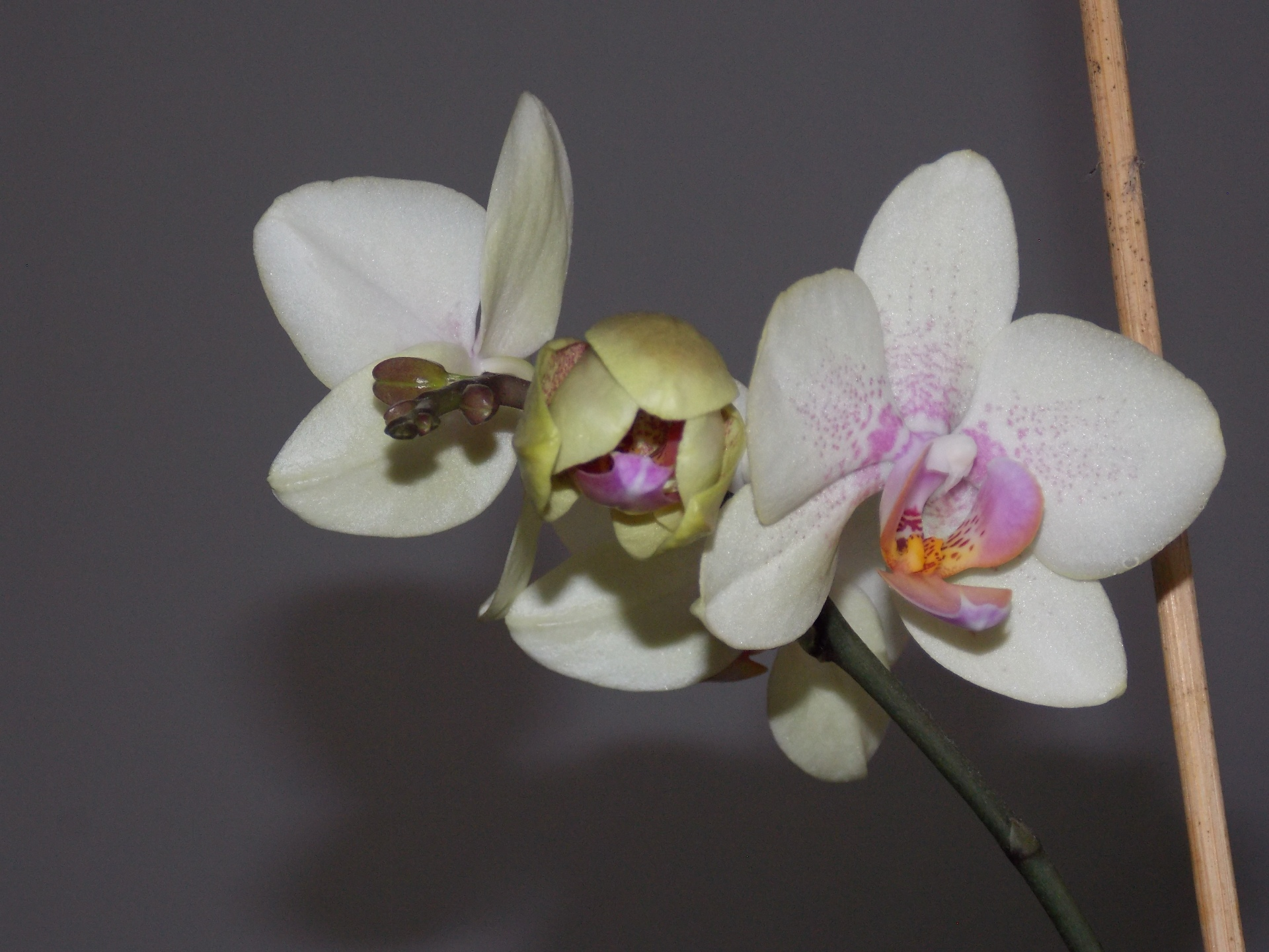 Orchidee, fotografiert am 11.02.2017